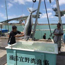 牧港漁港下卸黃鰭吞拿魚(金槍魚)